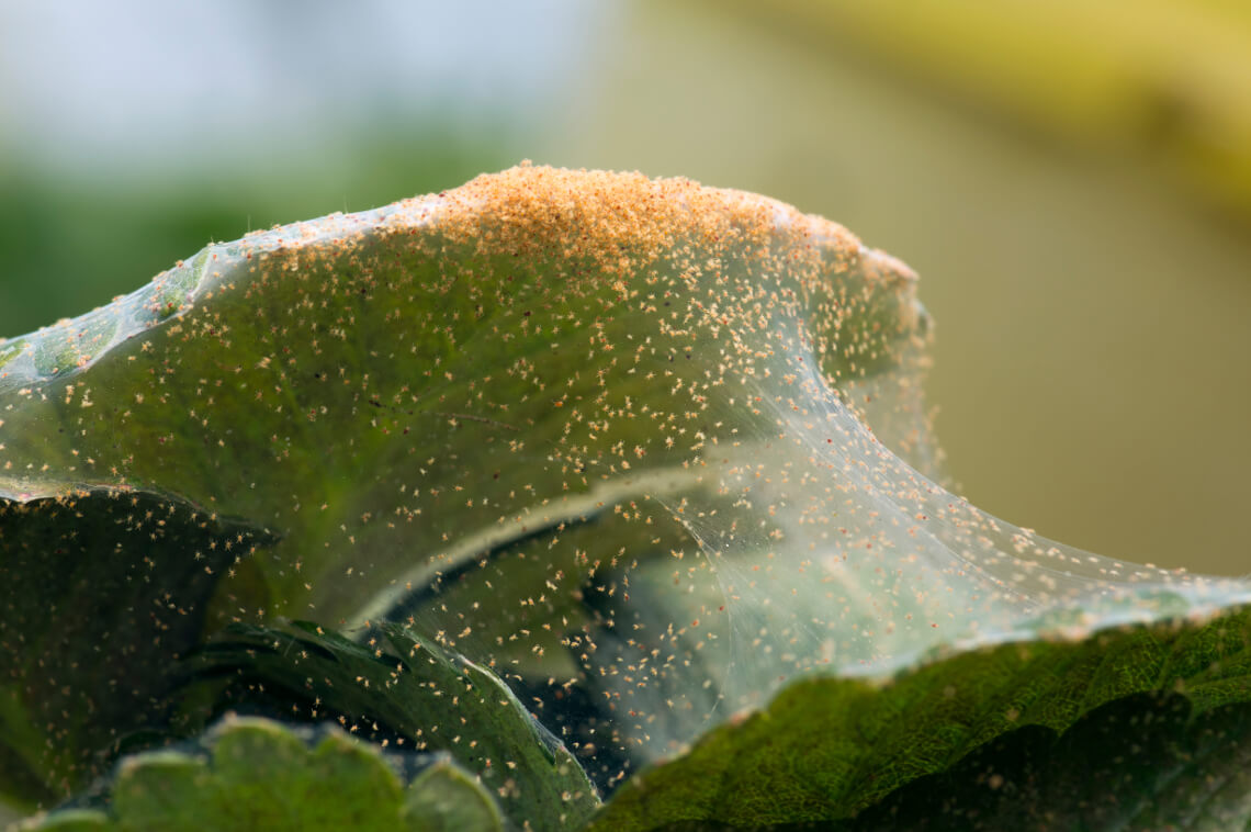 How to deal with spider mite on indoor plants